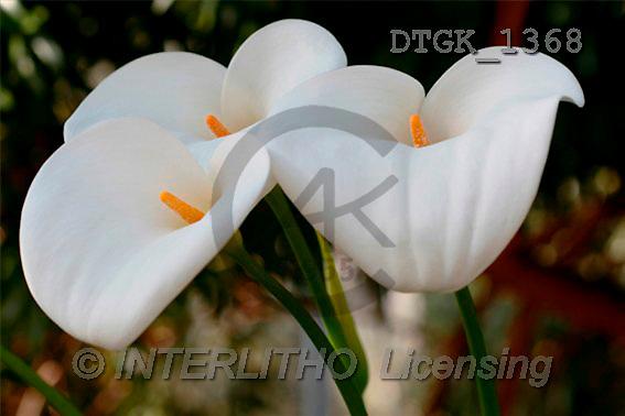 Gisela, FLOWERS, photos(DTGK1368,#F#) Blumen, flores, retrato