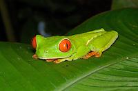 A Red-eyed Tree Frog, Agalychnis callidryas, in Costa Rica; La Selva, Costa Rica