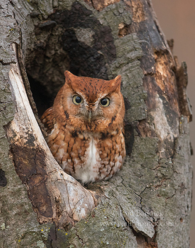 An Eastern Screech Owl peers from its roost cavity at sunrise.