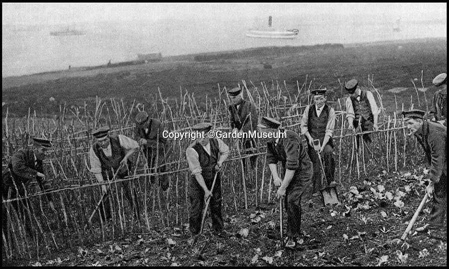 BNPS.co.uk (01202 558833)<br /> Pic: GardenMuseum/BNPS<br /> <br /> Men work on a an allotment.<br /> <br /> These fascinating old pictures show that allotments have been a passion of the British for centuries.<br /> <br /> Today, more than 90,000 people are on waiting lists to get their own little patch of land to grow vegetables, and the pastime was just as popular in the early years of the 20th century.<br /> <br /> Garden historian and lecturer Twigs Way has sourced dozens of images of green-fingered Brits tending to their allotments during the 'allotment craze' amongst the middle classes sparked by the Allotments Act of 1908 which required councils to supply them when demanded.<br /> <br /> Families would decamp to the allotment on a Sunday and picnic among the cabbages, dividing tasks with the husband digging, the wife collecting crops and the children weeding or caterpillar picking.<br /> <br /> They grew cabbage, carrots, leeks, parsnips, beet, marrow and spinach while also staying faithful to the Victorian favourites seakale, salsify, scorzonera and asparagus.<br /> <br /> The allotments helped keep the British fed during the two world wars but fell out of favour in the 1960s and 1970s with elderly plot holders cast as villains in the battle to free up land for the housing boom.<br /> <br /> But, prompted by a desire amongst Brits to reconnect with the land, they are now in the throes of a full-scale revival.