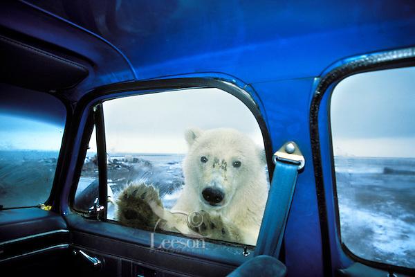 Polar Bear looking in pickup truck window.  Alaska.