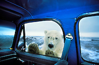 Polar Bear looking in pickup truck window.  Alaska.