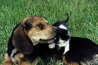 We all need the shoulder of a friend-- Beagle dog lying in grass nuzzles kitten climbing on his back.