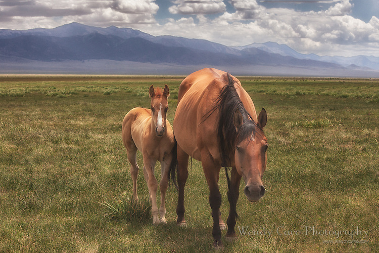 Mare and foal approaching photographer cautiously