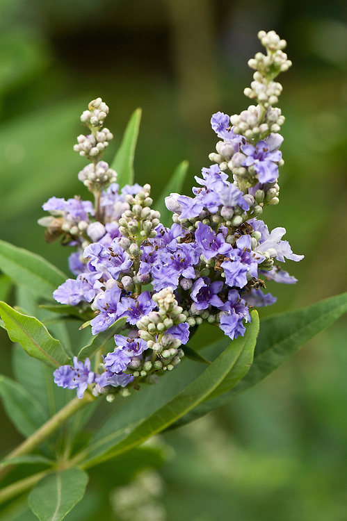 Vitex agnus-castus var. latifolia, early September. Commonly known as the chaste tree.