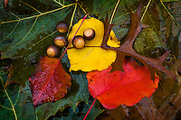 Leaves and acorns wet from a fall rain.<br />