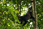 Mantled Howler Monkey (Alouatta palliata) male in tree, Cocobolo Nature Reserve, Mamoni Valley, Panama