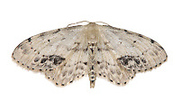 Single Dotted Wave - Idaea dimidiata