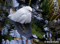 0201-08ww  Snowy Egret Hunting for Prey, Egretta thula © David Kuhn/Dwight Kuhn Photography
