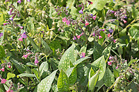Echtes Lungenkraut, Kleingeflecktes Lungenkraut, Lungenkraut, Pulmonaria officinalis, Lungwort, Soldiers-amd-Sailors, Spotted Dog, Pulmonaire officinale