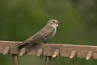 Grauschnäpper, Grau-Schnäpper auf Sitzwarte, Muscicapa striata, Spotted Flycatcher, Gobemouche gris