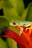 Red Eye Tree Frog, Agalychnis callidryas, Costa Rica,