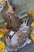 Europe/France/Centre/41/Loir-et-Cher/Sologne/Env de Bracieux:  Tableau de Chasse _ Perdrix rouge et perdrix grise // Europe/France/Centre/41/Loir-et-Cher/Sologne/Near  Bracieux:  Hunting Season:Red partridge and grey partridge