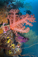 spikey soft coral, Dendronephthya sp., Madang, Papua New Guinea, Pacific Ocean