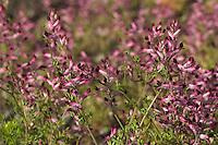 Gewöhnlicher Erdrauch, Fumaria officinalis, Common Fumitory, Fumeterre