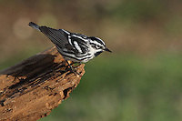 The Black-and-white Warbler is a species of New World warbler, the only member of its genus, Mniotilta. It breeds in northern and eastern North America from the Northwest Territory and Newfoundland and Labrador, Canada to Florida.