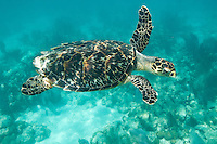 Hawksbill turtle<br />