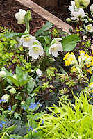Primula, Euphorbia, Hakon grass & white hellebore in beautiful spring planting combination of yellow and white color theme tones