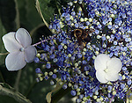 The bumble bee makes a nectar stop on a hydrangea flower.