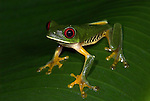 Red Eyed Tree Frog, Agalychnis callidryas, Costa Rica, sitting on leaf, tropical jungle, South America, large sticky feet.Central America....