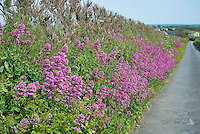 Hedgerow at Trevose Head, near Padstow, Cornwall.