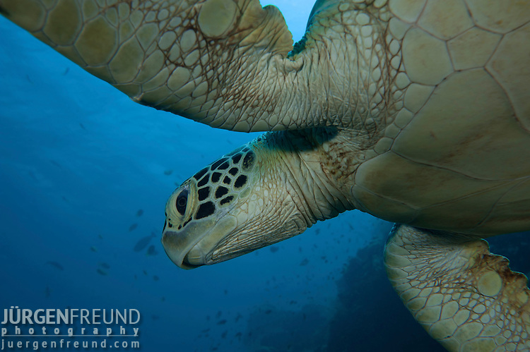 Head of green sea turtle (Chelonia mydas)