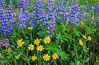 Wildflowers--mostly lupine and arnica--in subalpine meadow, Central Cascade Mountain Range, WA.  Summer.