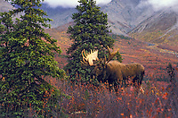 BULL MOOSE (Alces alces) in tundra with black spruce, birch and willows..Autumn. Denali National Park, Alaska.