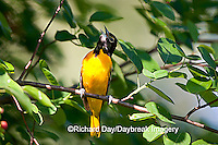 01611-074.08 Baltimore Oriole (Icterus galbula) male singing in Shadblow Serviceberry (Amelanchier canadensis) Marion Co. IL