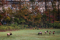 Arkansas bull elk watching over his reard of cows at Steel Creek campground on the Buffalo National River in the fall during the rut or mating season.