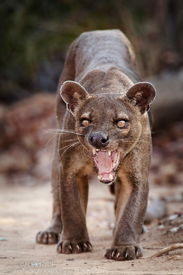 Adult Male Fosa {Cryptoprocta ferox} snarling, dry deciduous forest, Kirindy Forest, Western Madagascar, IUCN vulnerable species.