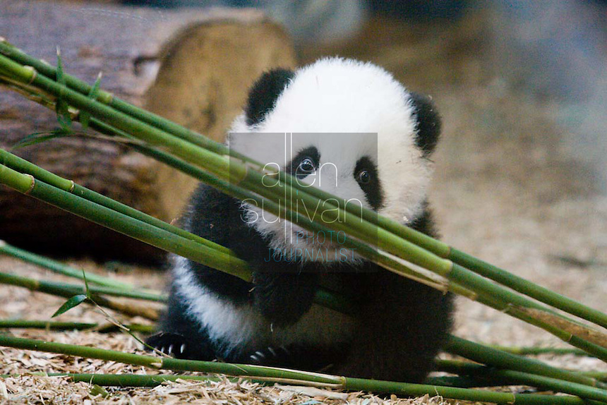 Giant panda cub Mei Lan at Zoo Atlanta. The zoo will announce Mei Lan?s formal debut to the public once she begins venturing out into her habitat for regular periods of time. This could occur within the next couple of weeks. Mei Lan, born on Sept. 6, 2006, is &quot;developing as she should be,&quot; said Dr. Dwight Lawson, vice-president of animal programs and science.<br />