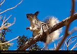 Abert's Squirrel, Tassel-Eared Squirrel, Grand Canyon, Arizona