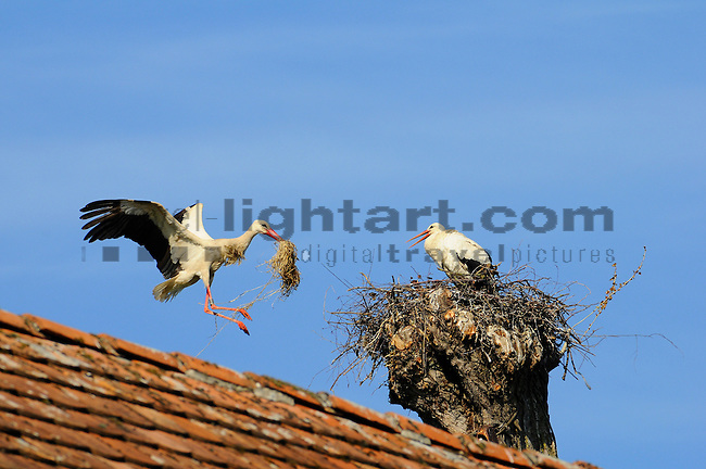 Weiss Storch, Nest of a White Stork, Ciconia ciconia, Kesswil, Thurgau, Switzerland
