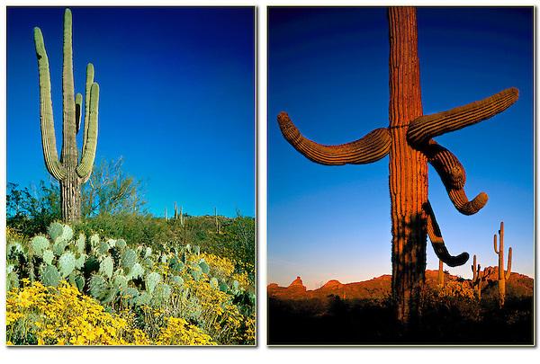 Saguaro  cactus in Saguaro National Park, Arizona. .  John offers private photo tours in Arizona and and Colorado. Year-round.