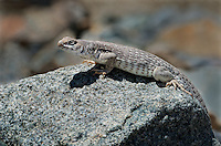 438500003 a wild desert iguana dipsosaurus dorsalis perches on a rock in darwin canyon inyo county california