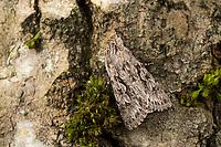 Geißblatt-Eule, Geißblatteule, Geissblatt-Eule, Geissblatteule, Geißblatt-Eulenfalter, Xylocampa areola, Early Grey, Early Gray, la noctuelle aréolée, Eulenfalter, Noctuidae, noctuid moths, noctuid moth