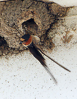Cliff swallow at nest