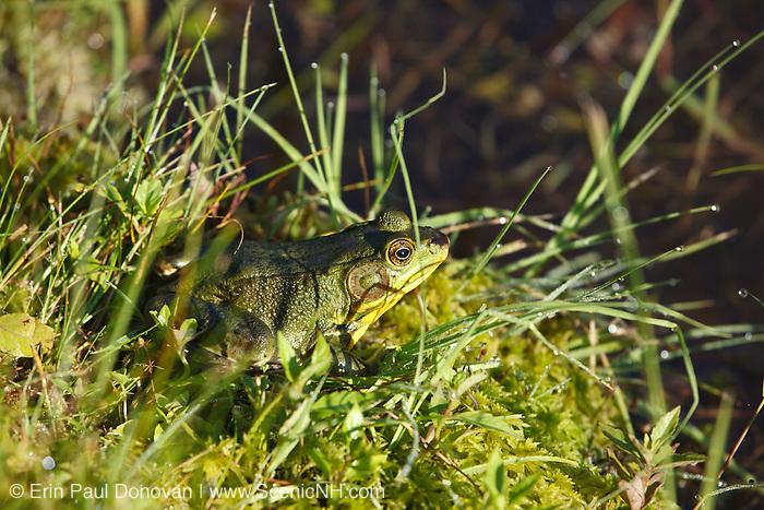 American Bullfrog (Rana catesbeiana) in New England pond