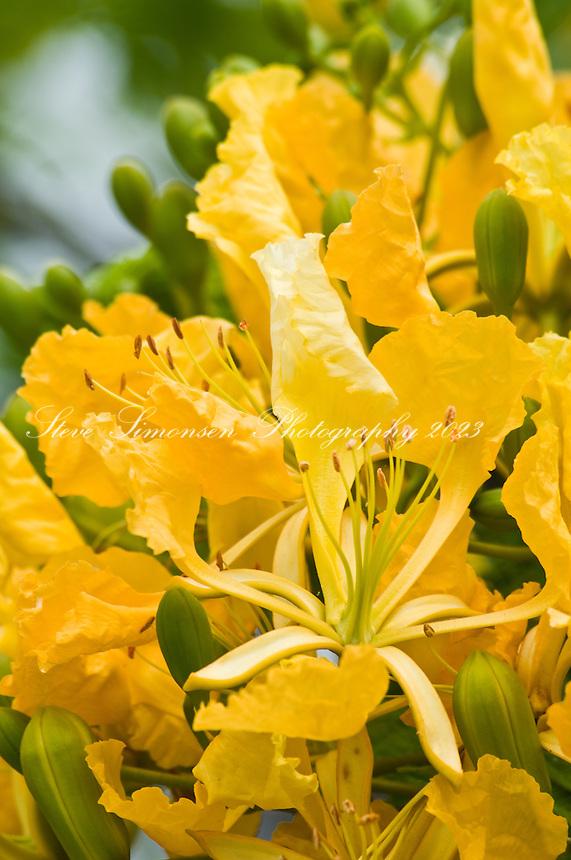 Yellow Flambouyant at the Moorings Road Town Tortola