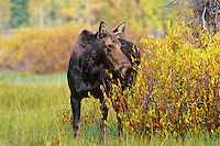 Cow Moose (Alces alces), Western U.S.