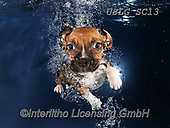 REALISTIC ANIMALS, REALISTISCHE TIERE, ANIMALES REALISTICOS, dogs, paintings+++++SethC_Ava_IMG_0720rev5,USLGSC13,#A#, EVERYDAY ,underwater dogs,photos,fotos ,Seth