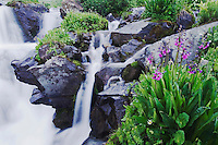 Mountain stream and wildflowers,Parry's Primrose,Primula parryi, Ouray, San Juan Mountains, Rocky Mountains, Colorado, USA, July 2007