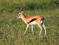 Male Thomson's Gazelle (Gazella thomsonii) at sunrise, Masai Mara
