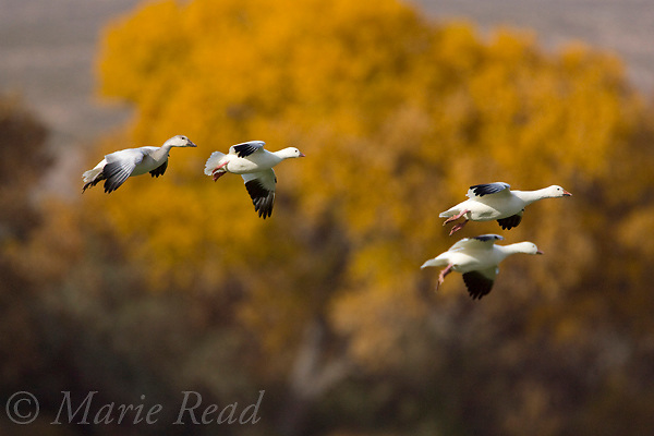 Snow Geese (Chen Caerulescens) and Ross's Goose (Chen rossii) (2nd from L), flying in to land, Bosque Del Apache National Wildlife Refuge, New Mexico, USA