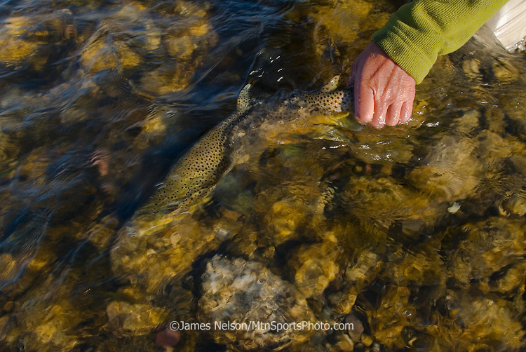 A fly fisherman releases a brown trout during a fall day on the Snake River, Idaho.