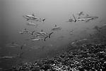 Schooling Grey Reef sharks, Carcharhinus amblyrhynchos, Fakarava Atoll, Tuamotus, French Polynesia, Pacific Ocean