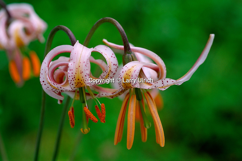 Kellogg's tiger lily<br />
