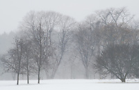 The forest appears almost ghost like in a snow storm at the Morton Arboretum, DuPage County, Illinois