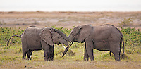 Young elephant bulls making up after mock fight, Kenya, Africa (photo by Wildlife Photographer Matt Considine)